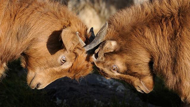 2 brown goats head butting each other; Represents competition